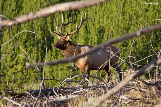 territorial elk